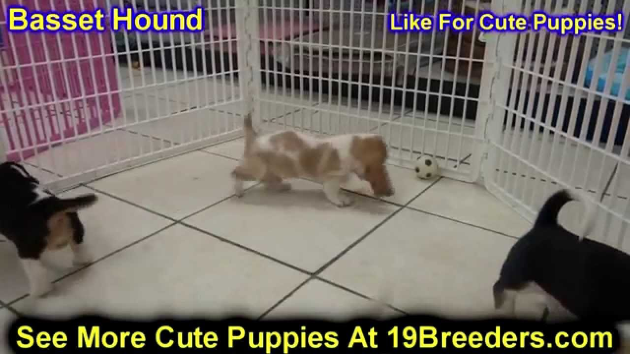 Basset Hound Puppies Dogs For Sale In Miami Florida FL