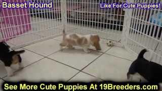 Basset Hound, Puppies,for,sale, In,orlando Florida, Fl, Deltona,melbourne,palm Coast,