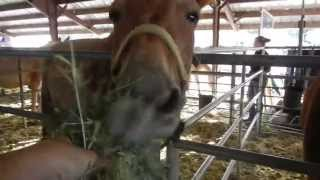 Feeding the Mules at Mule Days 2013 - Bishop, California