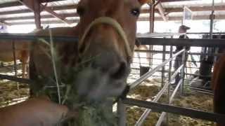 Feeding the Mules at Mule Days 2013 - Bishop, California
