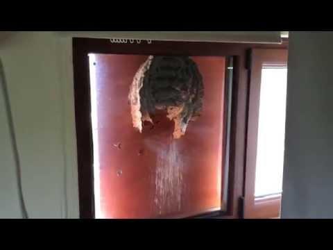 Huge wasp nest on my window