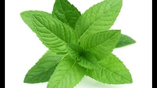 mint benefits  health benefits of mint leaves in urdu/hindi by kitchen gardening