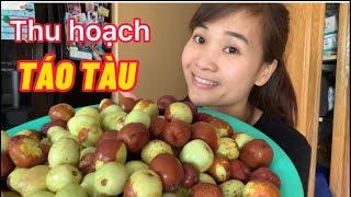 #62  Ra Vườn Thu Hoạch Táo Tàu Và Ăn Trái Cây Tại Vườn  Harvesting China Apple