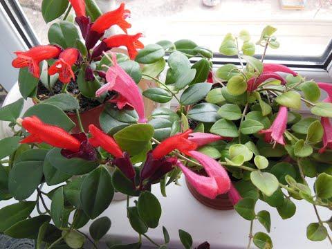 #Комнатные растения. Отзывчивый эсхинантус. Уход