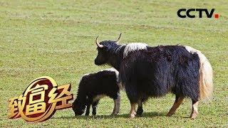 《致富经》 20190910 高高的山上牦牛壮| CCTV农业