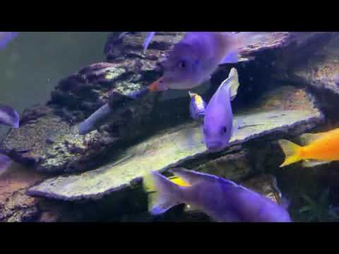 Red Tail Shark With Cichlids