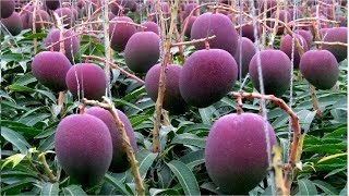 World s Most Expensive Mango - Amazing Japan Agriculture Technology Farm #18