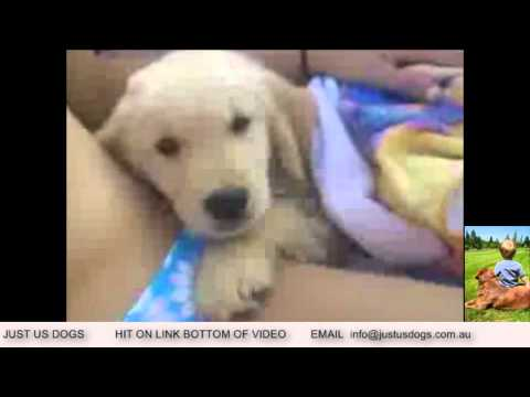 JUST US DOGS , DOGS FOR SALE SYDNEY , PUPPIES FOR SALE SYDNEY,
