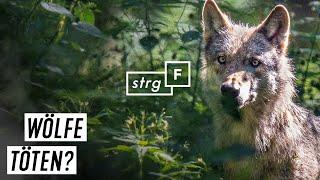 Wölfe in Deutschland - töten oder schützen? | STRG_F