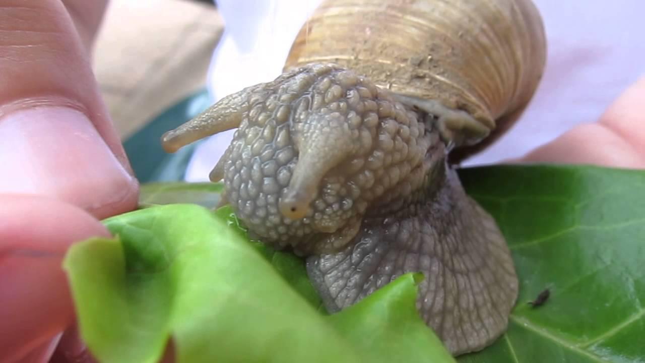cycle de la vie des escargots escargots t schnecken. Black Bedroom Furniture Sets. Home Design Ideas