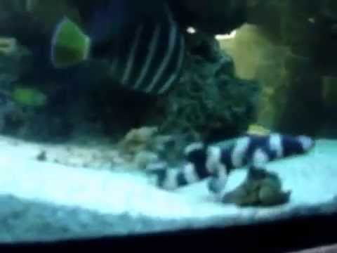 Cat Shark, Black Banded (Chiloscyllium punctatum) - YouTube