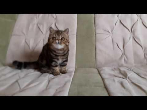 Kobano Harry,exotic  shorthair kitten,4.5 month