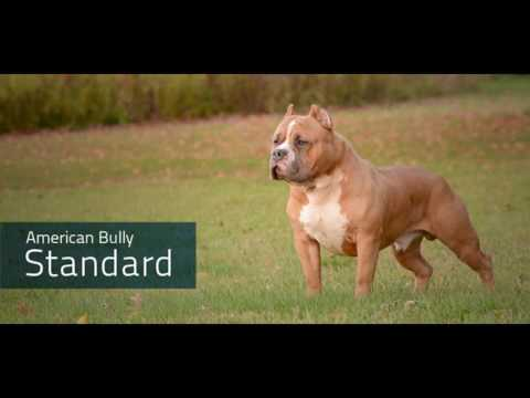 Types of American Bully