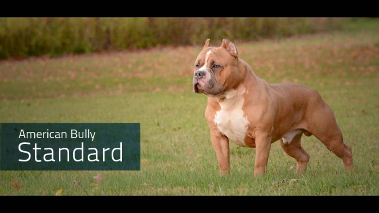 Types Of American Bully Youtube