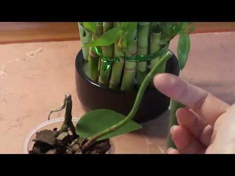 Как остановить пожелтение цветоноса орхидеи