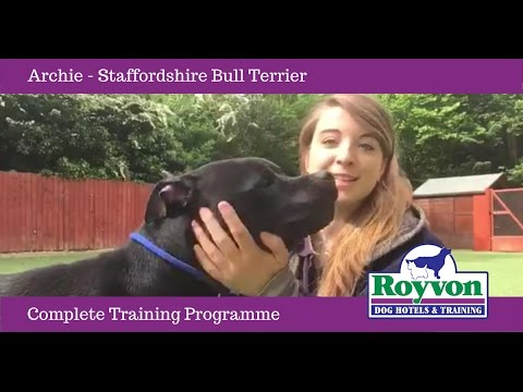 Archie the Staffordshire Bull Terrier Dog at Royvon's Complete Training Programme