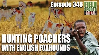 Fieldsports Britain  Hunting Poachers with English Foxhounds