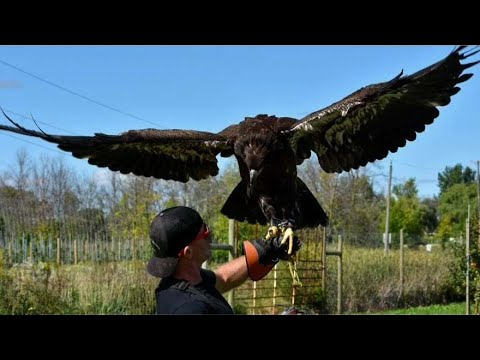 Search On For Young Bald Eagle That's Been Missing For Days