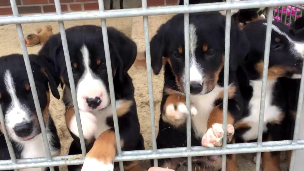 Susse Appenzeller Sennenhund Welpen Aus Schermbeck Youtube