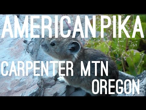 American Pika, Carpenter Mtn, H.J. Andrews Forest, Oregon, USA