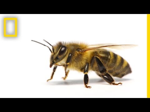 How Do Honeybees Get Their Jobs? | National Geographic