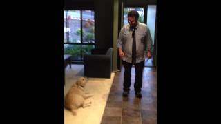 Funny Labrador Dog Wags Tail To Dancing Guy