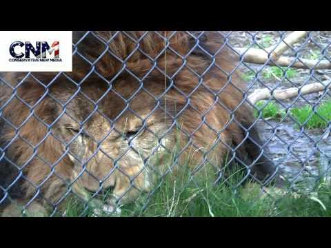 HUGE LION showing his HUGE TEETH & eating grass !! -...