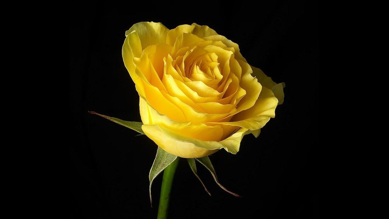 yellow love rose - HD1024×768