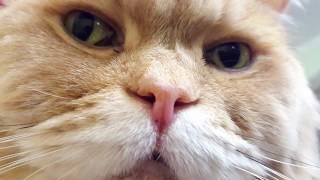 Сибирские кошки – это очень красивые, сообразительные и смелые питомцы.