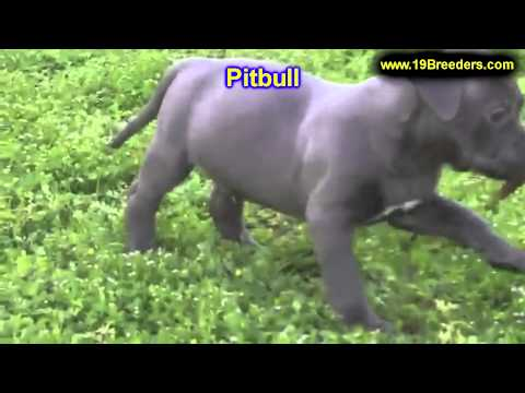 PitBull, Puppies, For, Sale, In,Omaha ,Nebraska, NE,Lincoln,