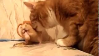 Жадный хомяк, сирийский хомяк, смешной хомяк, смешные животные, домашние хомячки