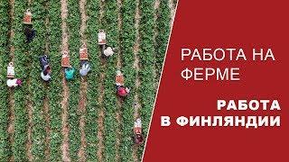 Работа в Европе. Конкурс! Сколько можно заработать в Финляндии на сборе ягоды?