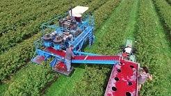 Red & Black Currant Harvest - MaVeBo Lewedorp   SFM Technology Harvester