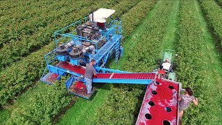 Red & Black Currant Harvest - MaVeBo Lewedorp | SFM Technology Harvester