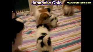 Japanese Chin, Puppies, For, Sale, In, Columbia, Maryland, MD, Perry Hall, Pikesville, College Park,