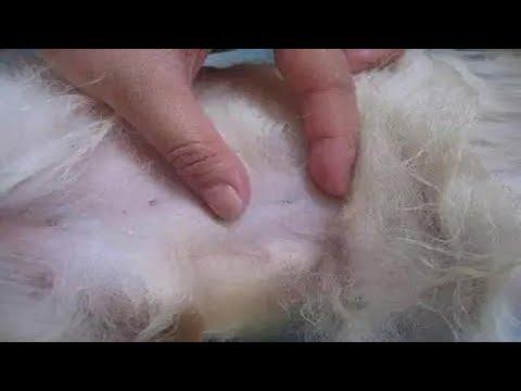 Вопрос: Что делать если у беременной кошки появились блохи Как их вывести?