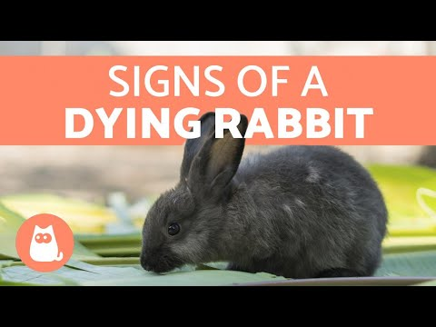 5-signs-your-rabbit-is-dying