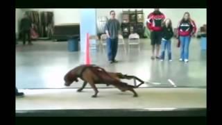 Собака делает то что Человеку не по силам