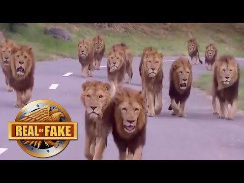 BIGGEST GROUP OF MALE LIONS EVER RECORDED - real or fake?