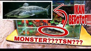 NEW PREDATOR FISH | BIG SIZE TIGER SHOVEL NOSE (TSN) + UPDATE SIZE ALIGATOTOR GAR