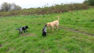 Dogs Playing In Wind And Rain - Labrador, Cocker Spaniel & Cockerpoo