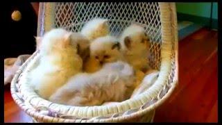 Cats101 himalayan гималайская кошка