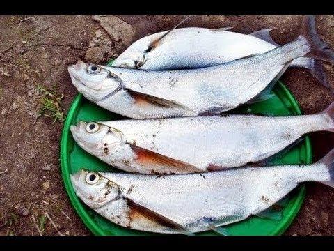 Ловля чехони на фидер с использованием искусственных наживок FISH POWER