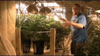 Half Pound Marijuana Plant