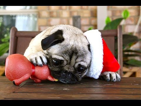 9af08c3908d Christmas Pugs - YouTube