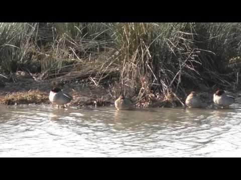 Teal Duck at Baron's Haugh