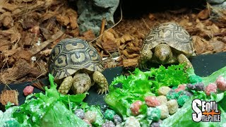 [Leopard Tortoise] 레오파드 육지거북 베…