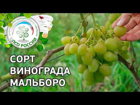 Сорт винограда Мальборо. 🍇 Описание сорта винограда Мальборо.