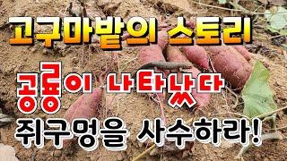 인주자야농원 고구마 밭의 스토리