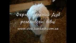 Пастуша собака Амон і ягнята на фермі Зелений Дуб 1